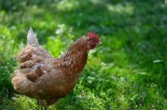Pollo en campo Foto de archivo libre de regalías