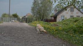 Pollo en el camino en el pueblo ruso almacen de metraje de vídeo