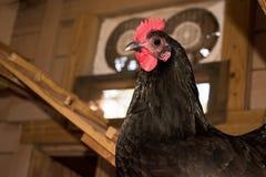 Pollo en gallinero Foto de archivo libre de regalías
