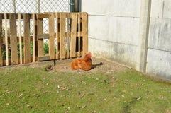 Pollo en hierba verde Imagenes de archivo