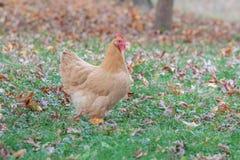Pollo en hojas de otoño Foto de archivo