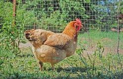 Pollo en jardín Fotografía de archivo libre de regalías