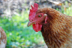 Pollo en jardín Imágenes de archivo libres de regalías