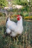 Pollo en jardín Fotos de archivo libres de regalías