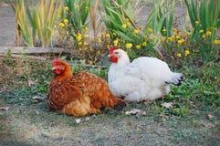 Pollo en jardín Fotos de archivo
