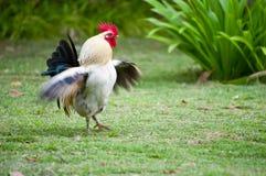 Pollo en la granja Foto de archivo