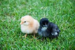 Pollo en la hierba Fotografía de archivo