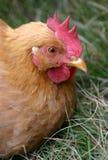 Pollo en la hierba Imagen de archivo libre de regalías