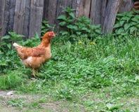 Pollo en la hierba Imágenes de archivo libres de regalías