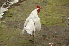 Pollo en la versión 15 de la yarda imagen de archivo libre de regalías