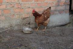 Pollo en la yarda Fotografía de archivo libre de regalías