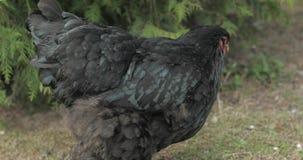 Pollo en la yarda cerca del ?rbol Pollo negro en pueblo almacen de metraje de vídeo