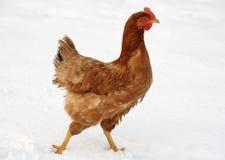 Pollo en nieve Fotos de archivo libres de regalías