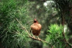 Pollo en un árbol Imagen de archivo libre de regalías