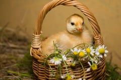 Pollo en una cesta Imágenes de archivo libres de regalías