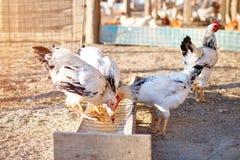 Pollo en una granja avícola Imagenes de archivo