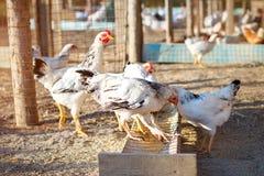 Pollo en una granja avícola Fotos de archivo