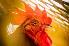 Pollo en una jaula Imagenes de archivo