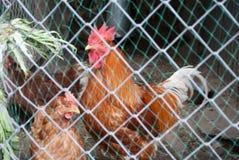 Pollo en una jaula del metal Foto de archivo