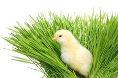 Pollo in erba verde fotografia stock libera da diritti