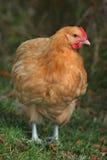 Pollo giallo cuoio di Orpington Immagine Stock