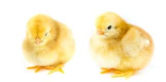Pollo giallo lanuginoso Fotografia Stock Libera da Diritti
