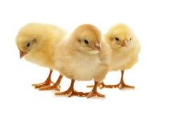 Pollo giallo lanuginoso di pasqua Fotografia Stock Libera da Diritti