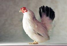 Pollo giapponese del Bantam Immagine Stock