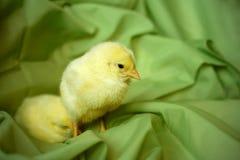 Pollo giovane Fotografia Stock