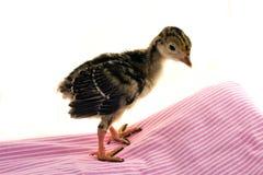 Pollo giovane della Turchia Immagine Stock Libera da Diritti