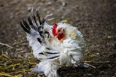 Pollo governare Fotografie Stock Libere da Diritti