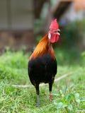 Pollo ilegal mezclado entre el pollo pequeno e ilegal imagen de archivo libre de regalías