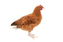 Pollo isolato Fotografia Stock Libera da Diritti