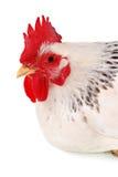 Pollo isolato su bianco. Fotografia Stock
