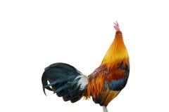 Pollo isolato su un bianco Fotografia Stock Libera da Diritti