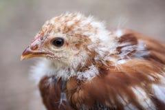Pollo joven fotos de archivo