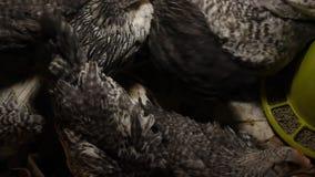 Pollo joven en jaula Pollos del pueblo almacen de video