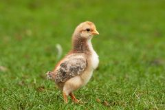 Pollo joven en la hierba 3 Imagen de archivo