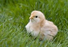 Pollo lanuginoso sveglio Immagini Stock Libere da Diritti