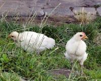 Pollo libero dell'intervallo Fotografia Stock