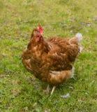 Pollo libero dell'intervallo (levarsi in piedi) Fotografia Stock