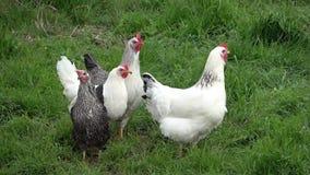 Pollo libero e felice archivi video