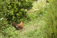 Pollo libre de la gama en los arbustos Imágenes de archivo libres de regalías