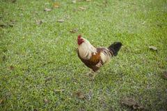 Pollo libre en el jardín Fotos de archivo libres de regalías