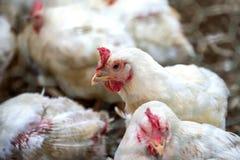 Pollo malato o pollo triste in azienda agricola, epidemia, influenza aviaria immagine stock libera da diritti