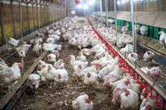 Pollo malato o pollo triste in azienda agricola, epidemia, influenza aviaria fotografia stock