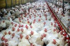 Pollo malato o pollo triste in azienda agricola, epidemia, influenza aviaria Fotografia Stock Libera da Diritti