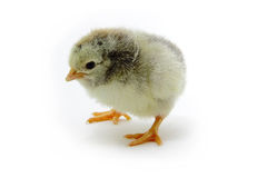Pollo manchado Imagen de archivo