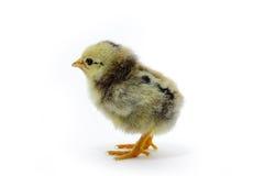 Pollo manchado Imagenes de archivo