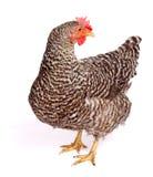 Pollo manchado Fotos de archivo libres de regalías